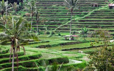 Bali – Reisterassen
