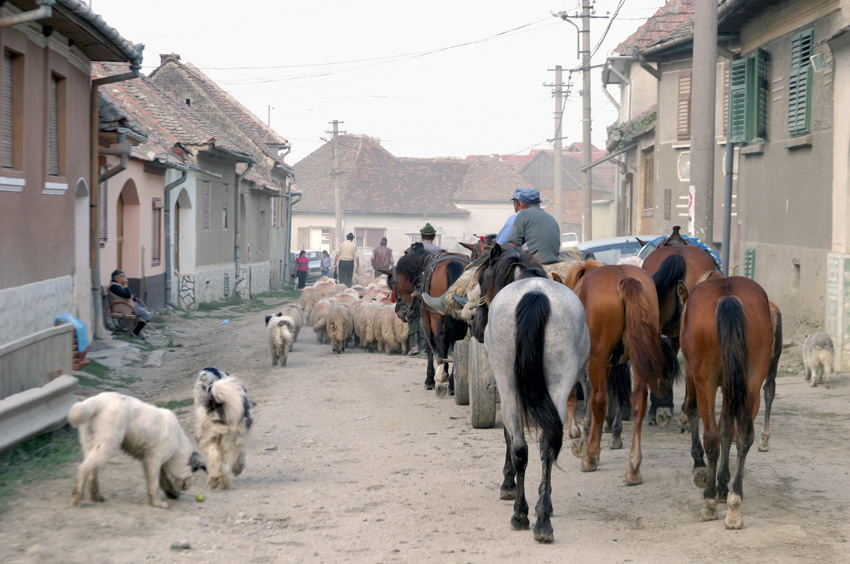 Schäferhunde Pferde
